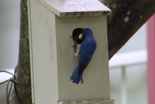 Male bluebird with fecal sac - 5-25-2020
