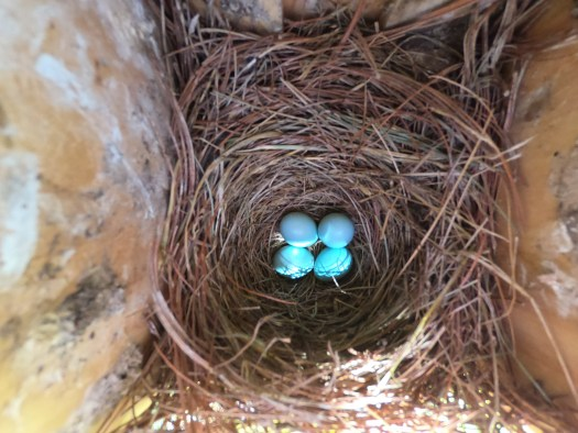 New bluebird eggs - 6-26-2020