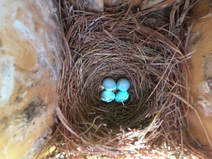 New bluebird eggs - 6-26-2020