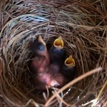 Bluebird hatchlings at 3 days old - 07-06-2020