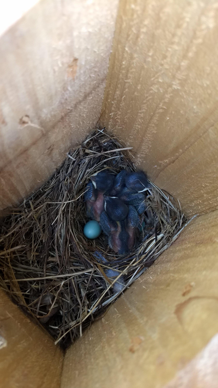 Blue brood 3 - 05-18-21