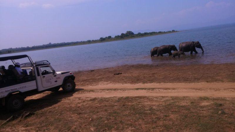 A herd of elephants in water