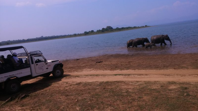 A herd of elephants in water