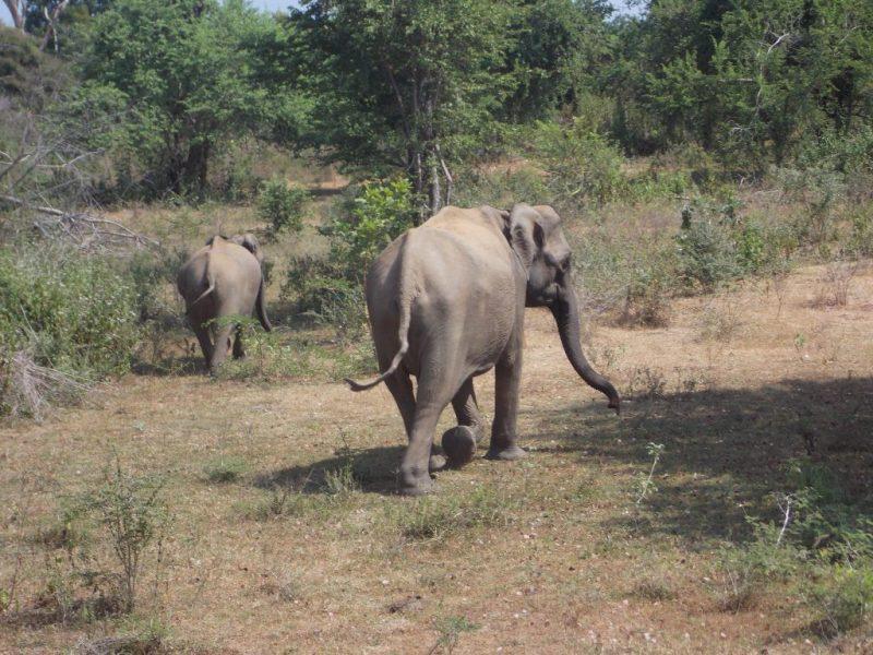 Roaming Elephants