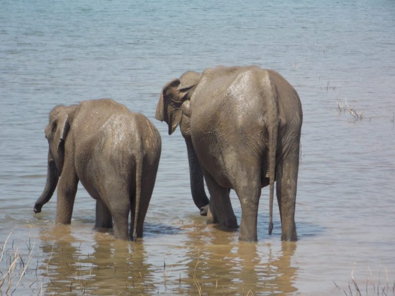 Two Elephants Having a Bath