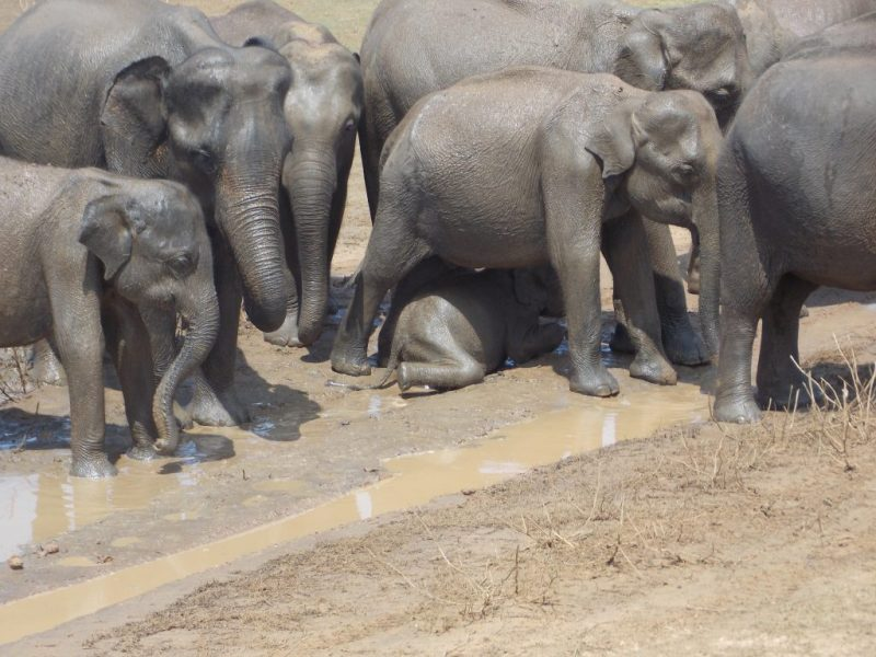Mud Bathing herd of Asian Elephants