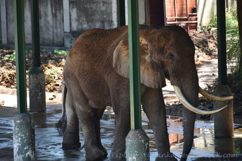 African Elephants at Dehiwala Zoo