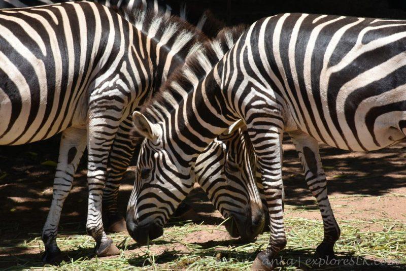 Zebra's at Dehiwala Zoo