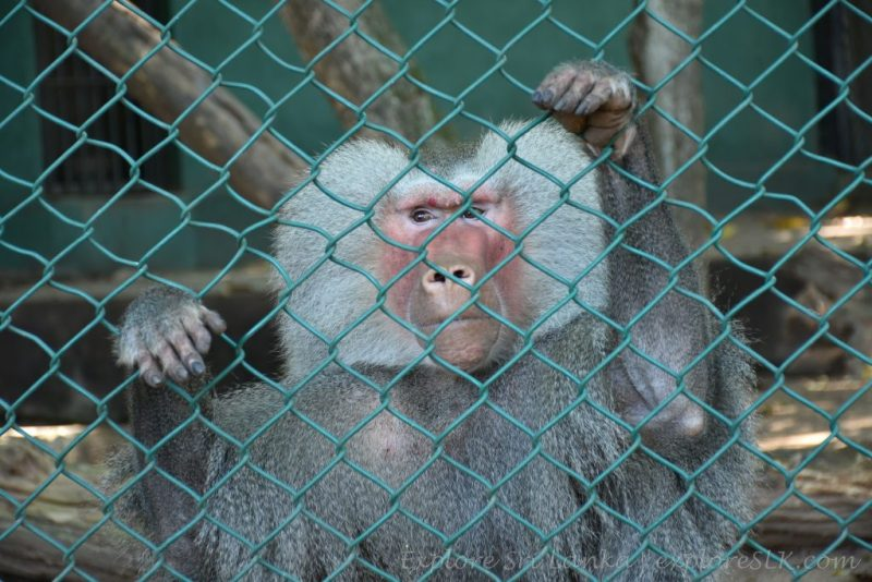 A Baboon in a cage