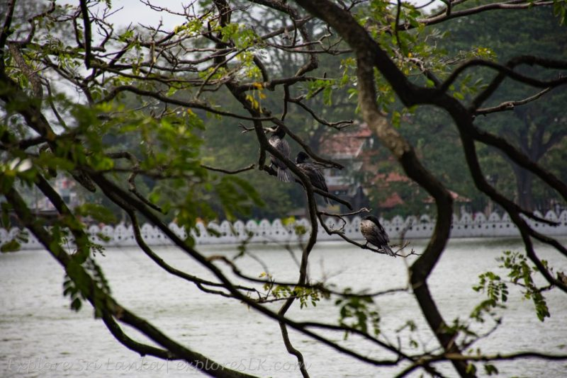 Birds at Kandy Lake