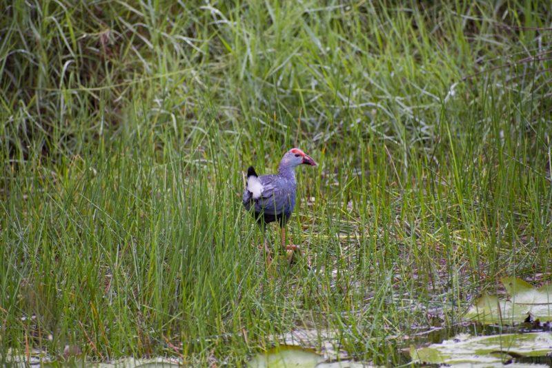 Purple Swamphen on Marsh