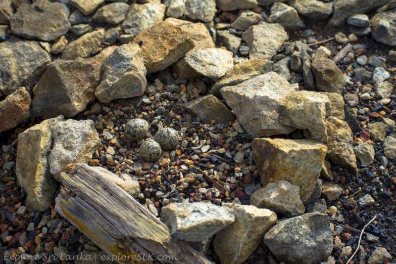 Bird Nest of Ground