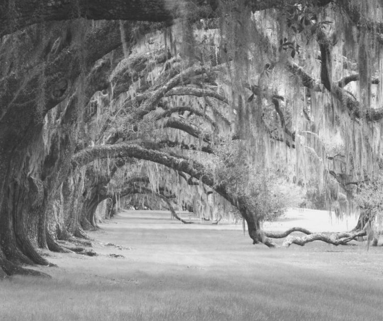 Old trees with moss hanging from the limbs create a haunted place in Georgia