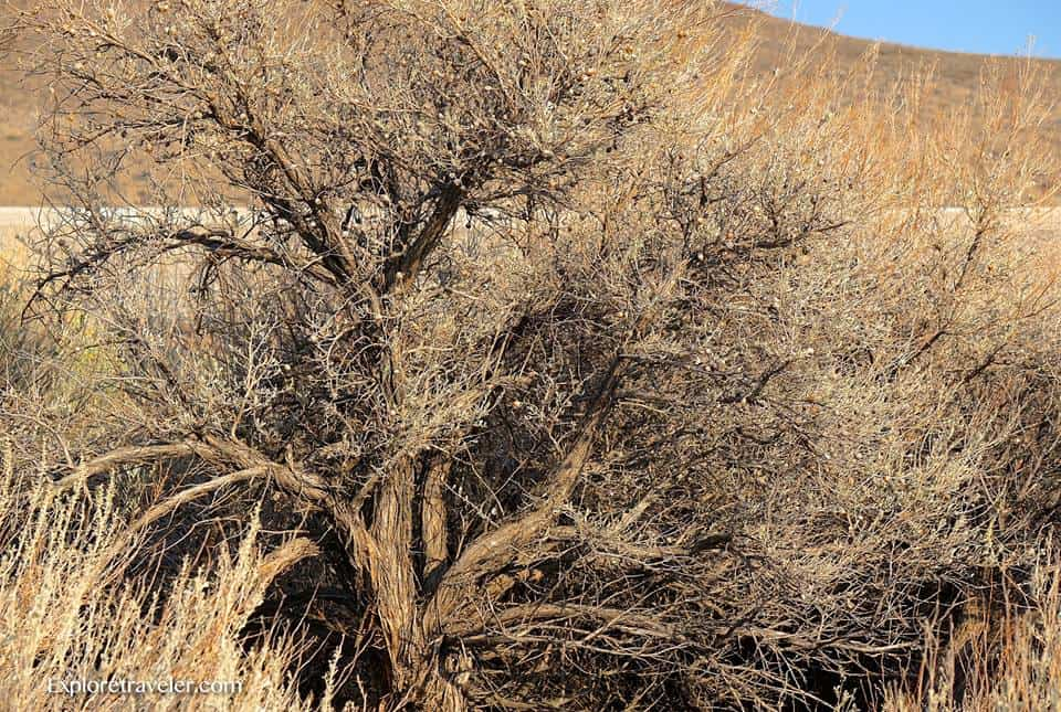 The weathered beauty of old Juniper trees in the high desert of Eastern Washington USA