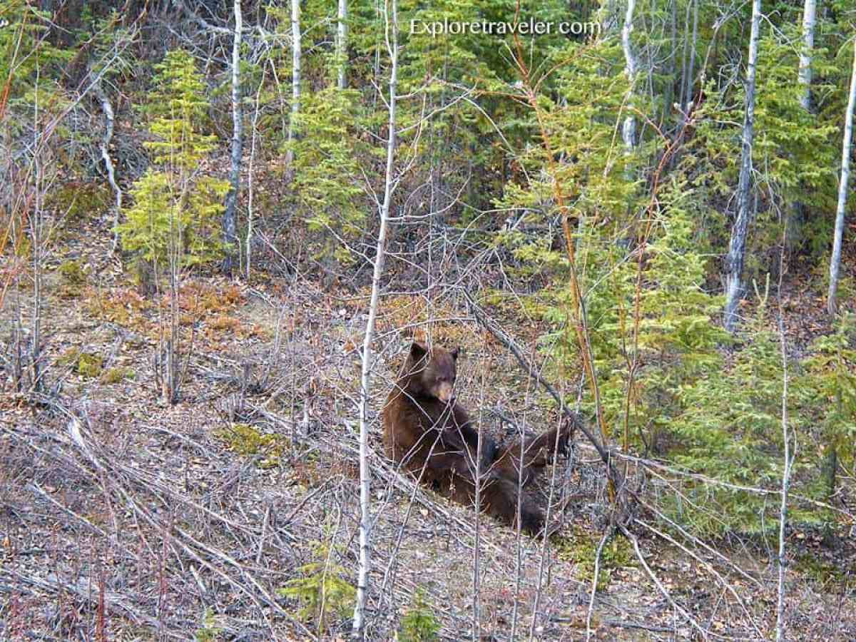 Grizzly bear munching on roots and grasses in Tanana Valley State Forest Alaska