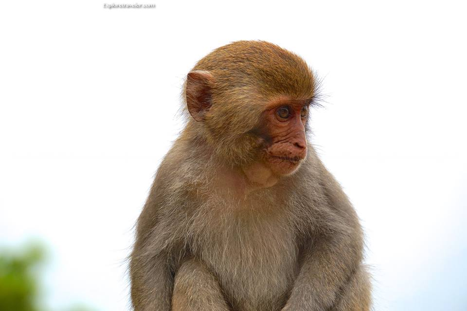 Taiwan's Formosan Rock #Macaque are the only monkey native to #Taiwan