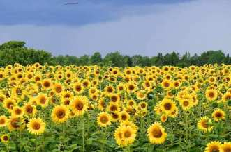 Fields Of Sunshine In Eastern Maine - A bunch of yellow flowers - Common sunflower