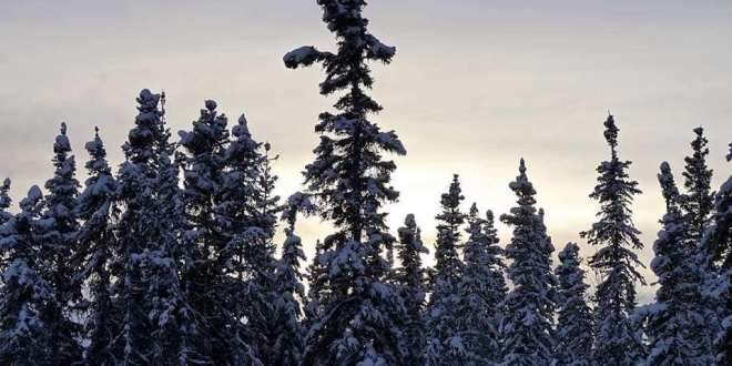 Amazing Adventure Along The Robertson River In The Foothills Of The Eastern Alaskan Range - A group of people riding skis on top of a tree - Spruce