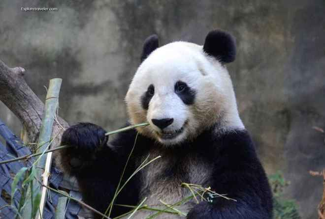 What Do Giant Pandas Eat And Drink