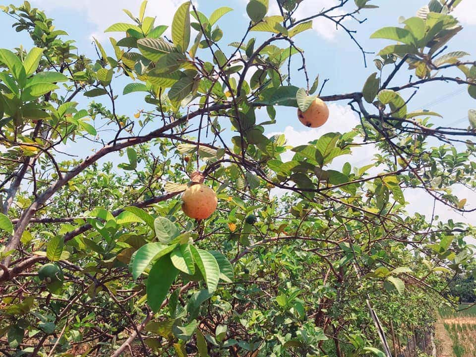 Musim panen akan segera tiba-Harvest season is coming Guava Majalengka Westjava Indonesia