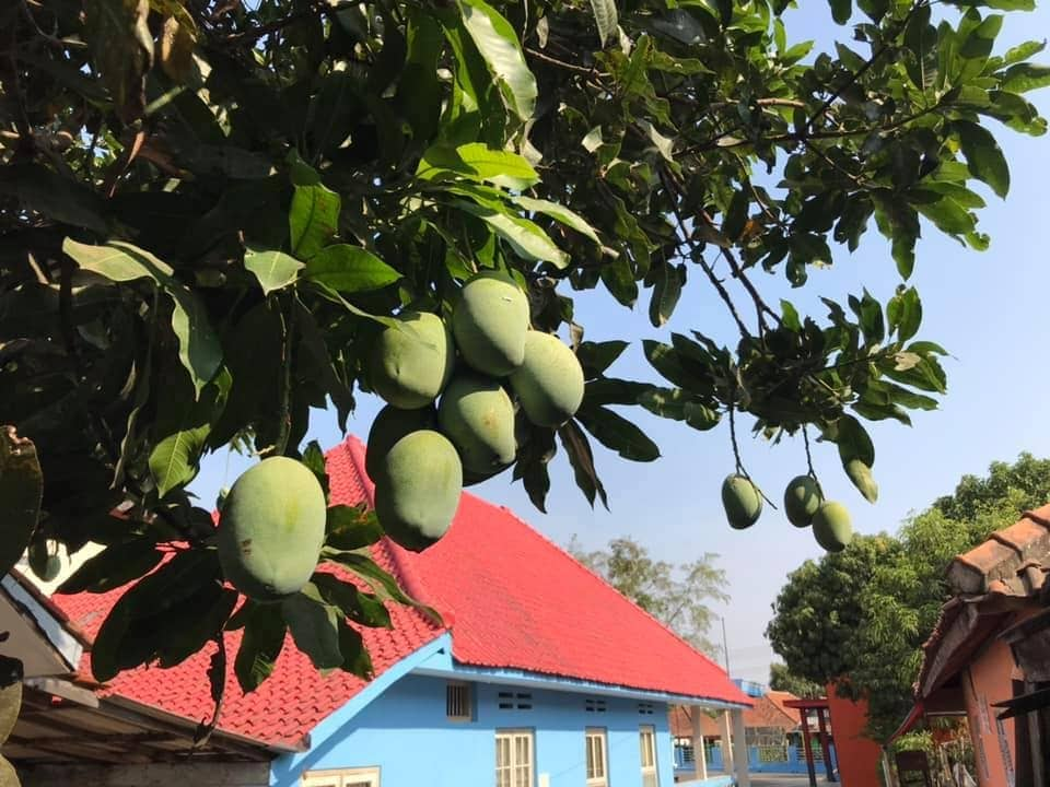 "The laleejewo mango, also known as ""Mangga"". A delicious and common food commodity"