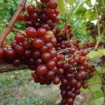 Alli Lanphear Vineyard & Winery - Grapes Vashon Island