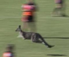 New South Wales Australia Video Footage Of A Rugby Game In Australia Shows The Moment When The Match Was Interrupted By A Kangaroo That Made Its Way Out