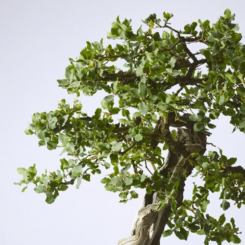 Tucker Oak