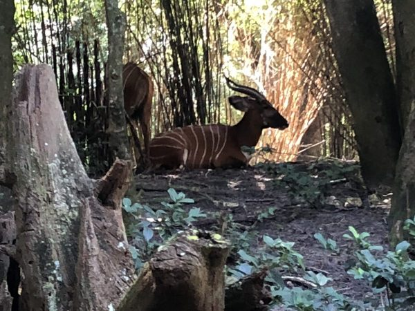 Okapi at Disney's Animal Kingdom