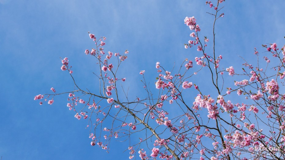 Cherry Blossom Festival in Amsterdam