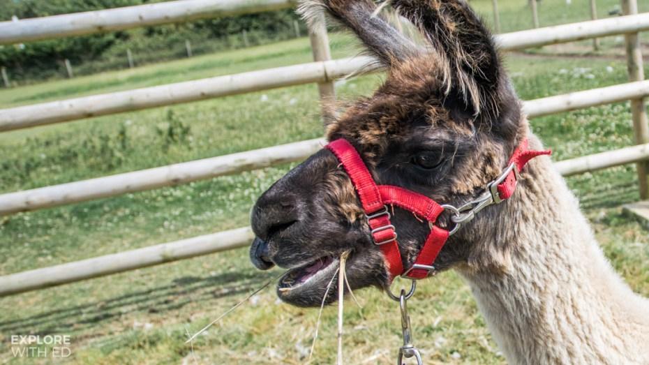 West Wight Alpacas Farm