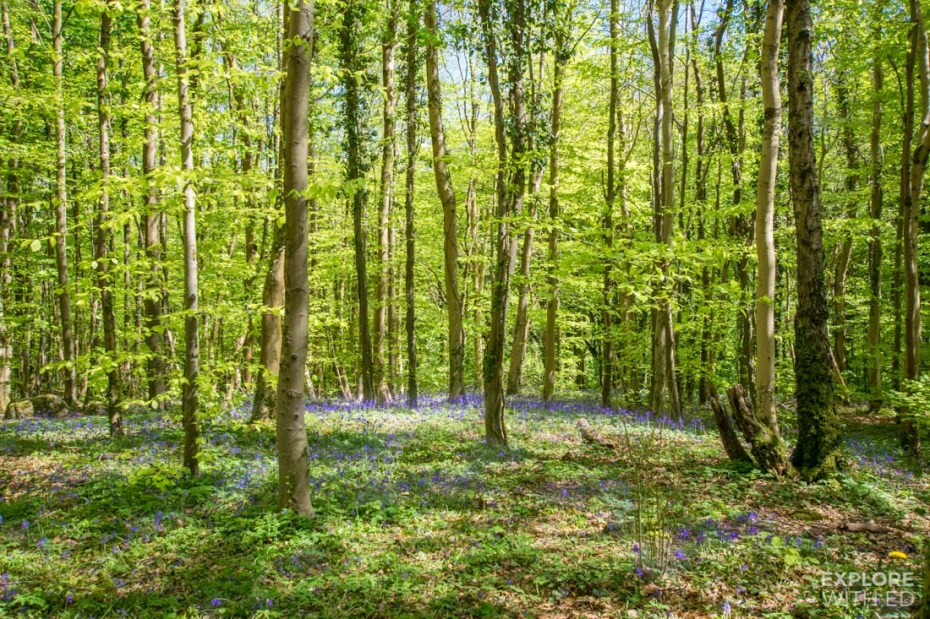 Bluebell woods in Wales