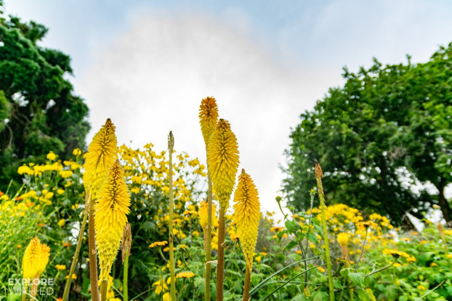 Yellow Kniphofia in the Savill Garden
