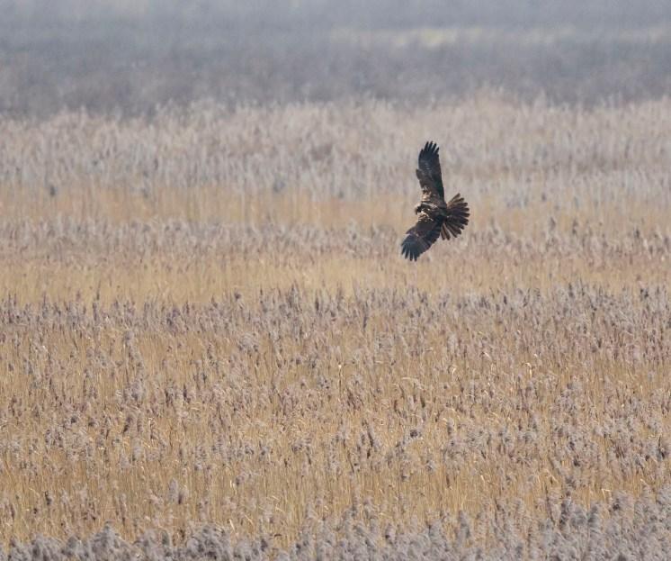 m harrier reeds