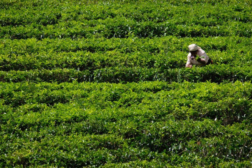 Tea Country Sri Lanka tourism