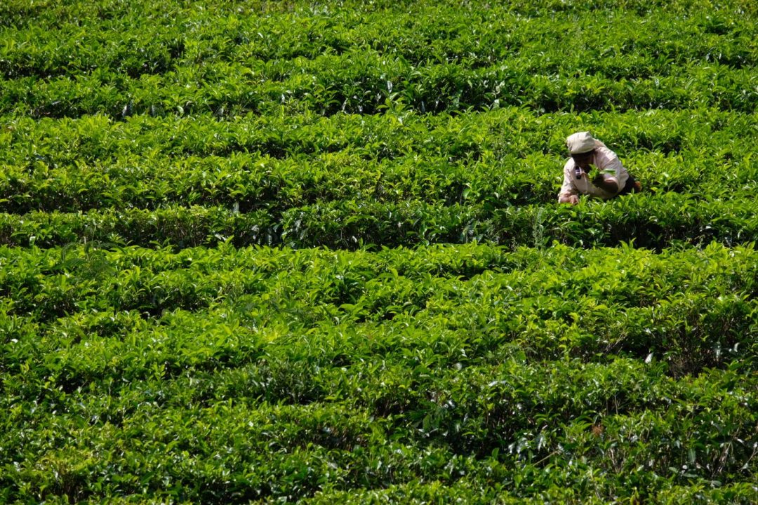Tea Country Sri Lanka tourism
