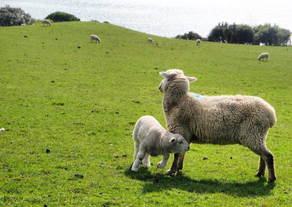 Duder Regional Park ewe and lamb