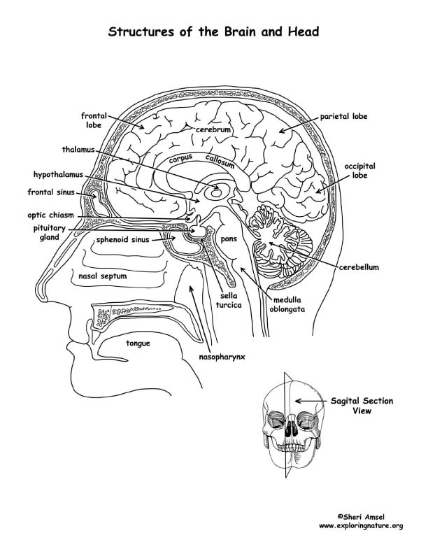 Brain Structures (Labeled) Coloring Page