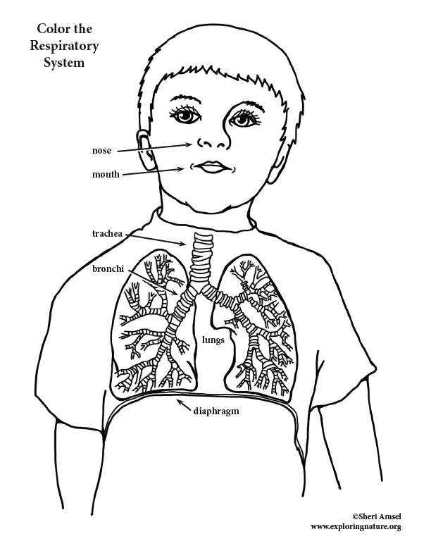 Respiratory System Coloring (Elementary)