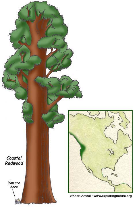 How To Draw A Rainforest Tree : rainforest, Temperate, Rainforests