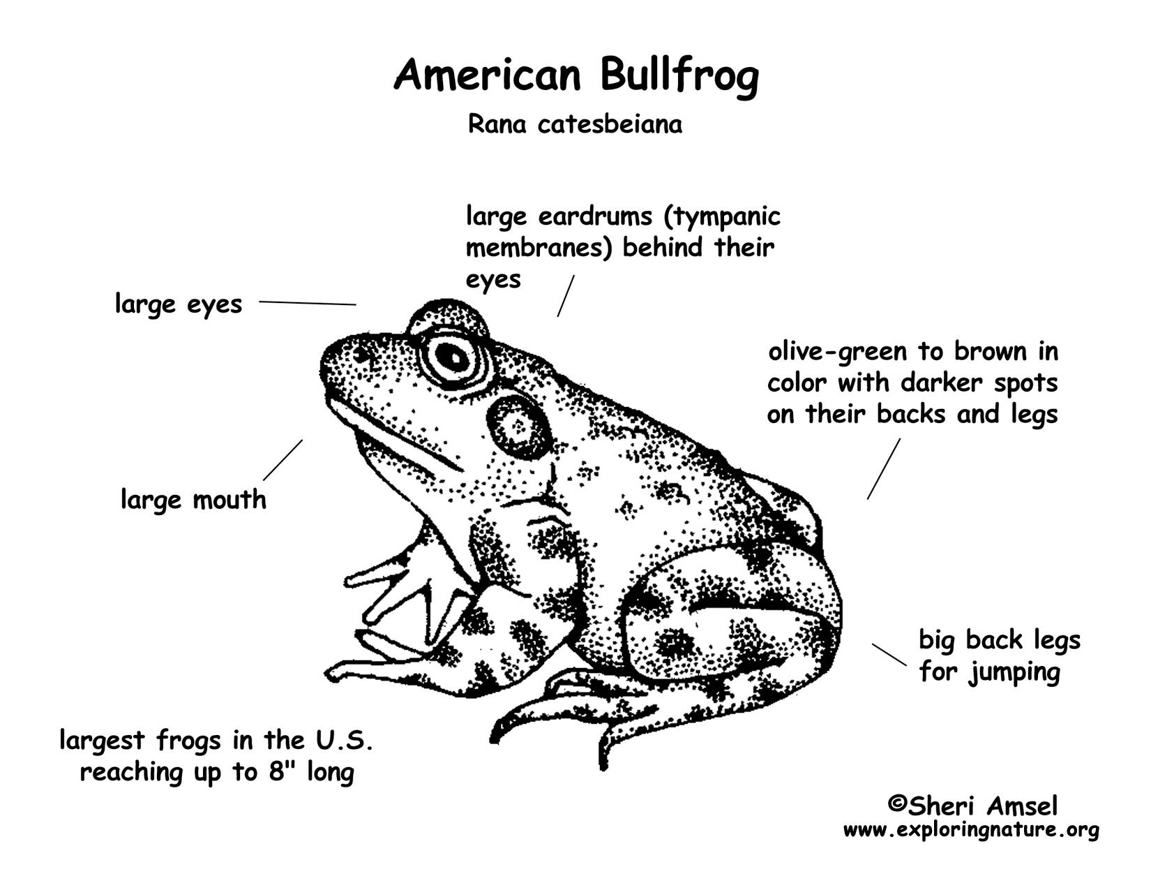 Frog Bullfrog