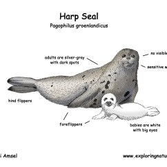 Harp Seal Life Cycle Diagram Single Phase Induction Motor Sketch Coloring Page