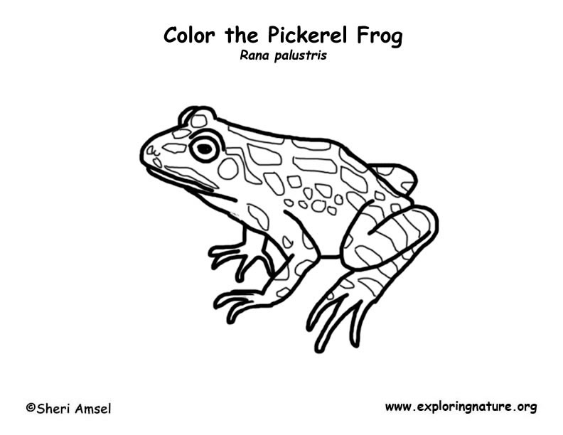Frogs The Learning Patio Sketch Coloring Page