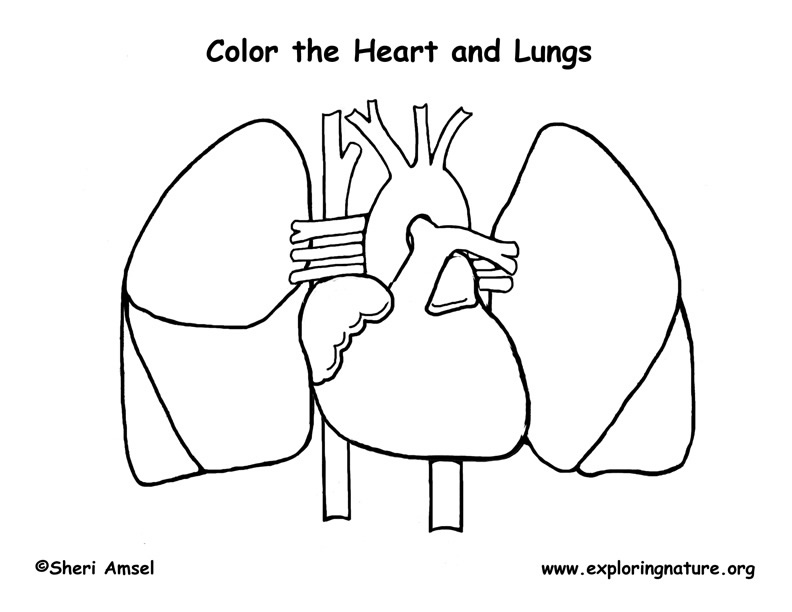 Heart and Lungs Coloring Page