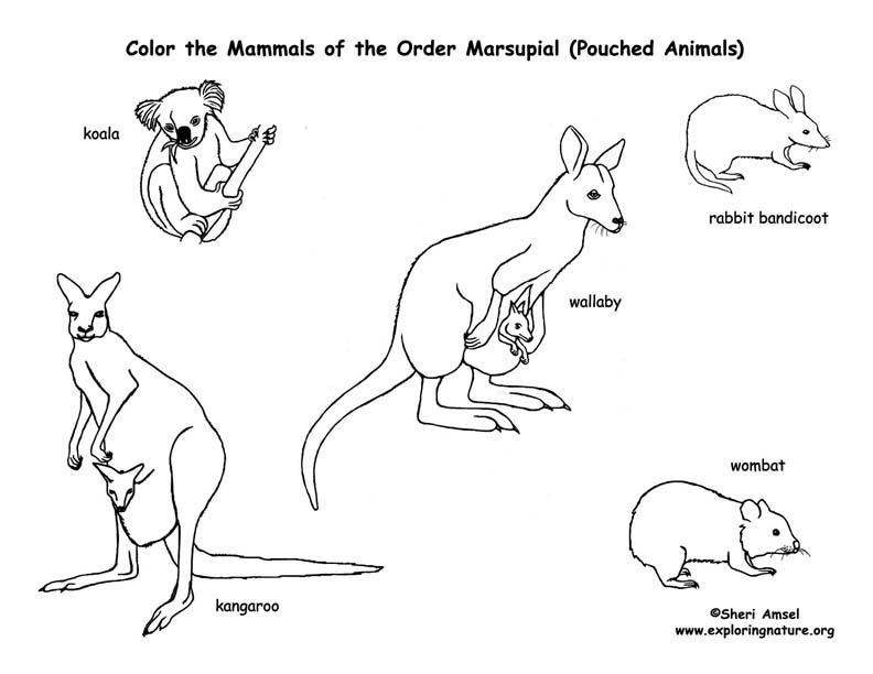 Marsupials (Kangaroos, Koalas, etc.) Coloring Page