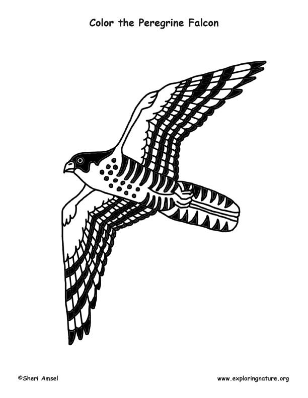 Peregrine Falcon Coloring Lesson