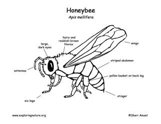 bee diagram honeybee labeling honey anatomy labelled pdf contact