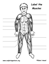labeling muscles body muscle skeletal exploringnature quiz pdf