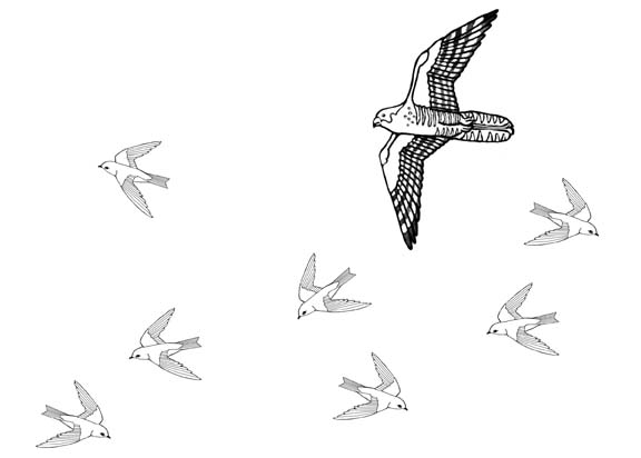 Hunting Falcons