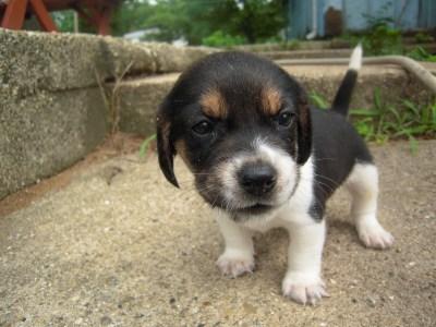 Beagles7713 020